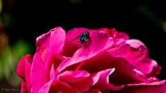 Rose et sa mouche