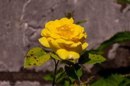Je suis la rose jaune de l'histoire !