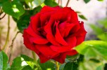 Rose faite pour l'amour !