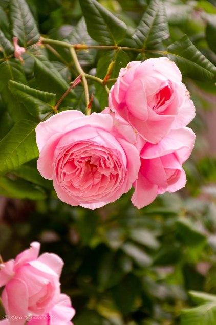 Moi aussi je suis un bouquet de roses, mais je m'assume, moi !