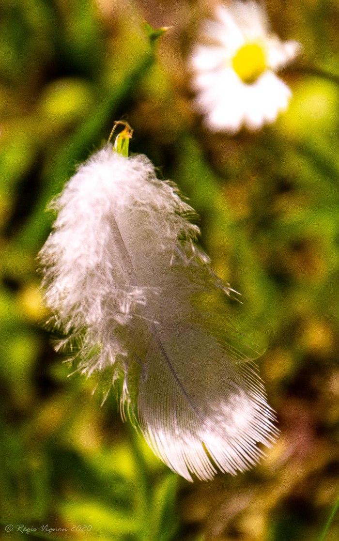 Plume longtemps accrochée dans les herbes_